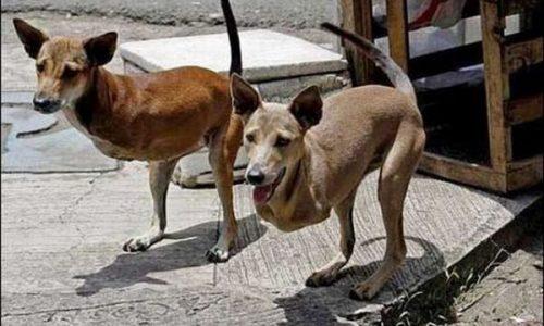 Kangoroo-Dogs