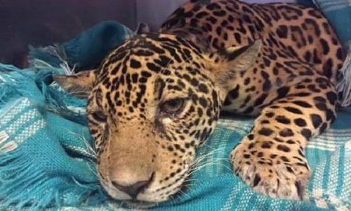 Paralyzed Jaguar